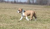picture of american staffordshire terrier  - Amazing American Staffordshire Terrier puppy moving in nature - JPG