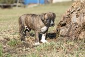 picture of american staffordshire terrier  - Gorgeous little puppy of American Staffordshire Terrier standing alone in nature - JPG