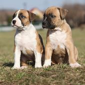 picture of american staffordshire terrier  - Two nice little puppies of American Staffordshire Terrier together in exterier - JPG