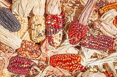 stock photo of corn-silk  - Decorative corn on the autumn market - JPG