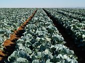 stock photo of water cabbage  - Farming landscape view of a freshly growing cabbage field agriculture background image - JPG