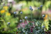 picture of opium  - Opium poppy flower - JPG