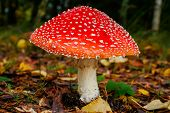 picture of poison  - Beautiful but poisonous mushroom in autumnal morning dew - JPG