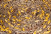 pic of cocoon  - Yellow silkworm cocoon in the textile industry - JPG