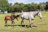 pic of stud  - Horse mare and foal colt on stud farm field - JPG