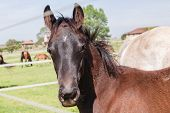 stock photo of stud  - Horse mare and foal colt on stud farm field - JPG