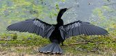 stock photo of wetland  - Male anhinga  - JPG