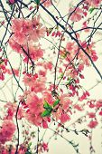 image of sakura  - Beautiful flowering Japanese cherry - Sakura. Flowers on a spring day on soft background. Vintage color toned abstract nature background, instagram filter. ** Note: Shallow depth of field - JPG
