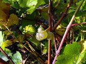 picture of vines  - three green vine to vine close up - JPG