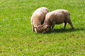 picture of eat grass  - Two Baby Lambs Eating Grass in a Field - JPG