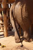 picture of rear-end  - Rear end of large elephant Elephant conservation camp near Kalaw Myanmar  - JPG