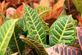 stock photo of crotons  - details of many croton on the markets - JPG