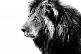 picture of lion  - Lion black and white isolated on white background