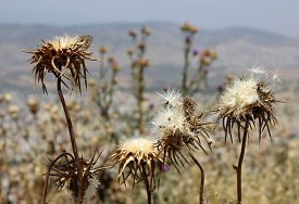 stock photo of defloration  - deflorate thistle flowers as a symbol of bad environment - JPG