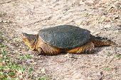 pic of winnebago  - Snapping Turtle  - JPG
