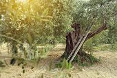 Постер, плакат: Old olive tree in Italy Beautiful calm mediterranean landscape Olive trees garden Olive tree with
