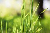 Green Grass Seamless Texture. Green Grass Background Texture. Field Of Fresh Green Grass Texture As poster