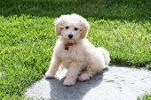Постер, плакат: Little Golden Toy Poodle Puppy In The Garden
