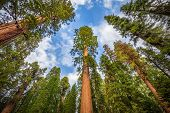 Wide Angle View Of Famous Giant Sequoia Trees In Sequoia National Park, California, Usa poster