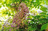 Wisteria Bush With Delicate Purple Flowers On The Bush With Green Leaves poster