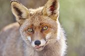 Fox Head With Geen Background. Wildlife In The Forest. Animal poster