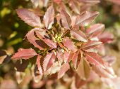 Close Up Mahonia Ornamental Shrub (barberry) With Spiny Leaves Of Red Winter Color On A Spring Sunny poster