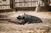 Large Black Pig In Farm. Pig Farming Is Raising And Breeding Of Domestic Pigs. It Is A Branch Of Ani poster