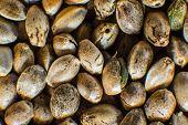Hemp Seeds Background In Macro. Many Cannabis Seeds. Organic Hemp Seed. Close Up. Macro Detail Of Ma poster
