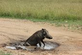 picture of breath taking  - Beautiful warthog taking a shower under the breath taking sun - JPG