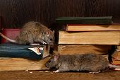 Close-up Two Rat (rattus Norvegicus) Climbs On Old Books On The Flooring In The Library. Concept Of  poster