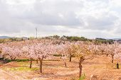 Blooming Almond Trees With Pink And White Flowers In A Spanish Orchard, Orchard Industry poster