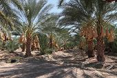Date palm trees orchard