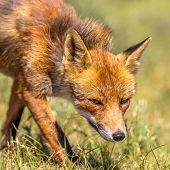 Red Fox (vulpes Vulpes) Portrait With Bright Green Background. This Beautiful Wild Animal Of The Wil poster