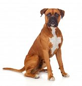 image of boxers  - Beautiful Boxer dog isolated on white background - JPG