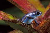 image of rainforest animal  - blue poison dart frog Oophaga pumilio of tropical rainforest in Panama cute small rain forest amphibian as a pet animal - JPG