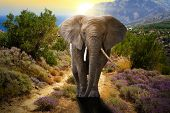 stock photo of elephant ear  - Elephant walking on the road at sunset - JPG