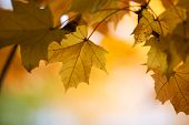 pic of maple tree  - Maple tree in beautiful bright autumn colors - JPG