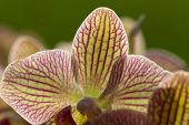 stock photo of freaky  - close up of Freaky orchid pink and yellow - JPG