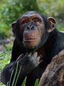 foto of tarzan  - chimpanzee looking upward - JPG