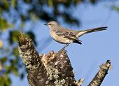 picture of mockingbird  - Mockingbird perched on stump with blue sky background