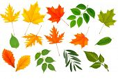 stock photo of fall-wheat  - Big collection of colorful leaves - JPG