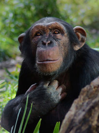 stock photo of jungle animal  - chimpanzee looking upward - JPG