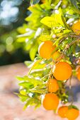 foto of valencia-orange  - Trees with orange typical in the province of Valencia - JPG