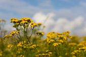 stock photo of tansy  - Tansy on a summer meadow against the sky - JPG