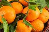 stock photo of tangerine-tree  - ripe tangerines with leaves as a background - JPG