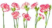 stock photo of carnations  - Set of blooming carnation flower isolated on white background - JPG