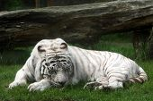 image of white-tiger  - white tiger sleeping on a grass - JPG