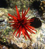 Red slate pencil urchin