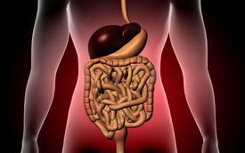 stock photo of excretory  - Digital illustration of human body and digestive system - JPG