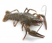 foto of crawfish  - Alive isolated crawfish on the white background